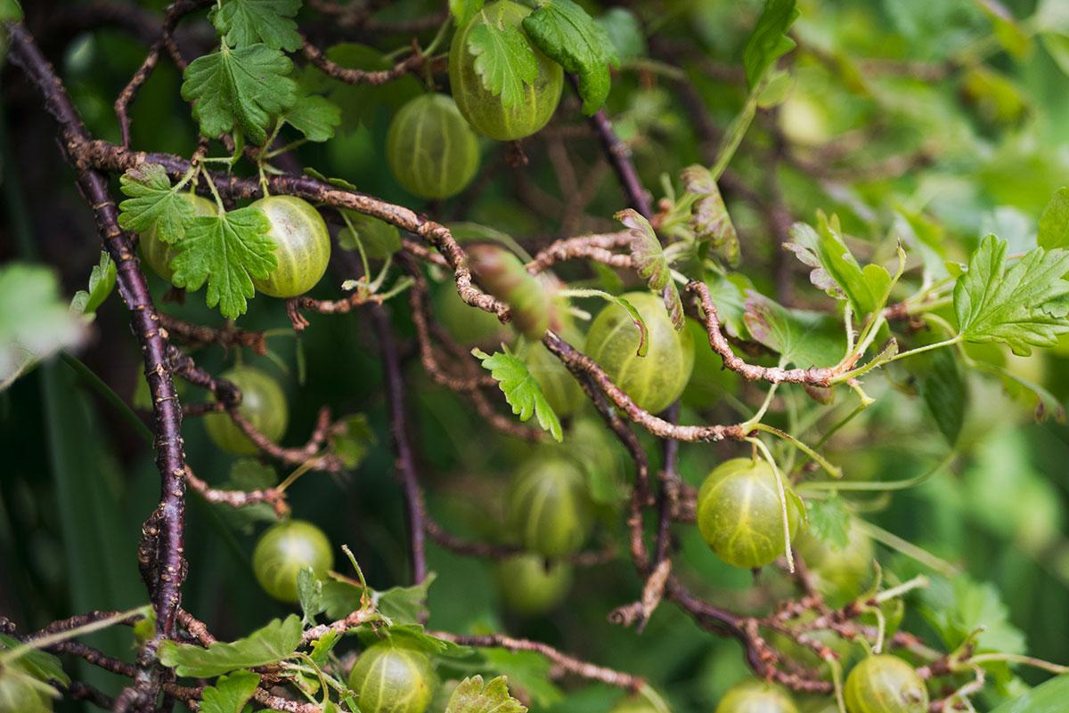 Opskrifter med stikkelsbær | Frk. Kræsen