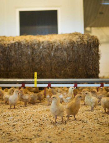 På besøg hos en kylling-producent i Jylland | Frk. Kræsen